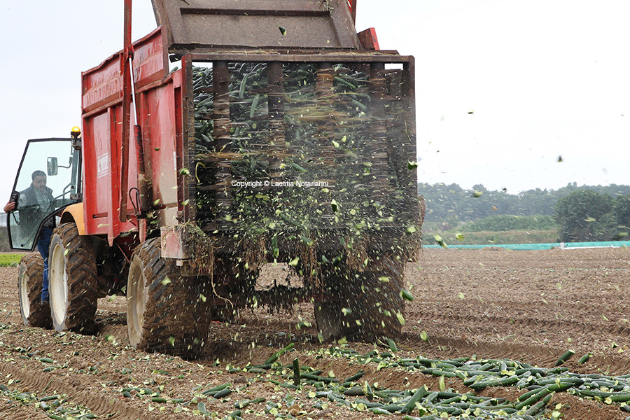 A French vegetable farmer throws cucumbers in a truck before destroying them in Carquefou, western France, on June 06, 2011. Cucumbers Sales collapsed on French markets due to the fear of E. coli contamination. Photo by Laetitia Notarianni/ABACAPRESS.COM